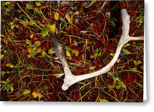 Foliage Image Greeting Cards - A Caribou Antler In Tundra Greeting Card by Joel Sartore