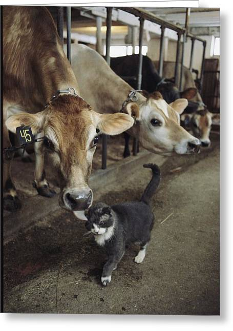 Dairy Farmers And Farming Greeting Cards - A Cat Accepts A Lick From A Cow Greeting Card by Ira Block