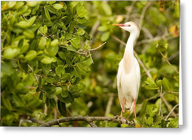 Mangrove Trees Greeting Cards - A Cattle Egret Bubulcus Ibis Portrait Greeting Card by Tim Laman