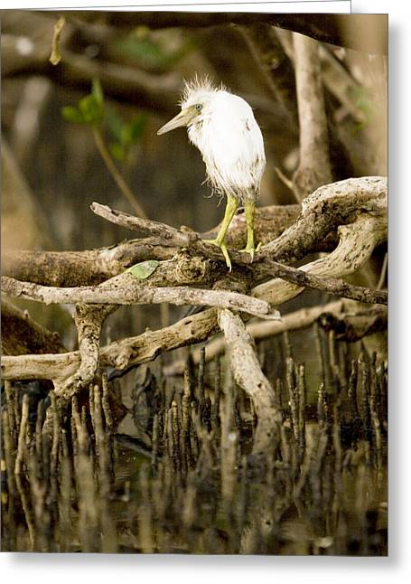 Bubulcus Ibis Greeting Cards - A Cattle Egret Chick Bubulcus Ibis Greeting Card by Tim Laman