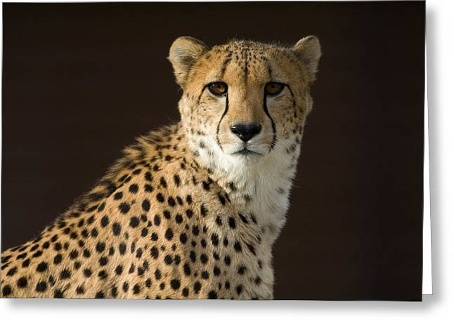 A Cheetah Acinonyx Jubatus Urinates Greeting Card by Joel Sartore