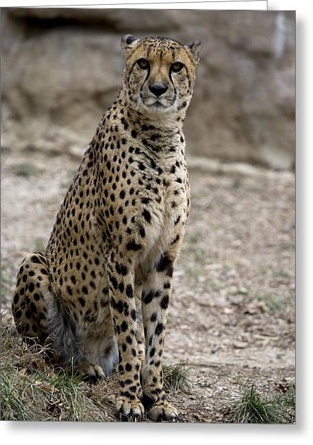 Looking Around Greeting Cards - A Cheetah Looks Attentively Greeting Card by Pete Ryan