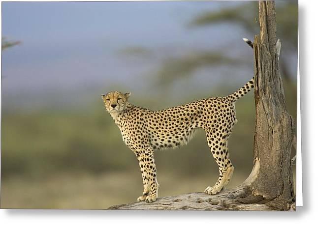 A Cheetah With Raised Tail Stands Greeting Card by Roy Toft