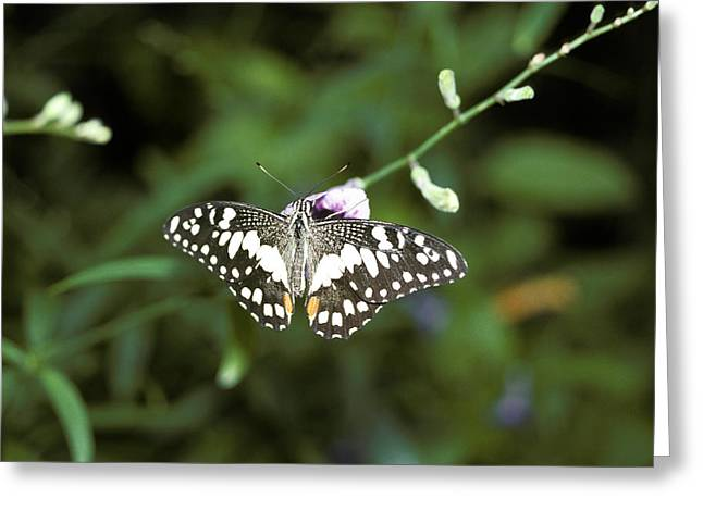 Patterned Marking Greeting Cards - A Chequered Swallowtail Butterfly Greeting Card by Jason Edwards