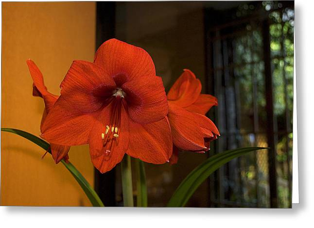 S Amaryllis Greeting Cards - A Christmas Regular Greeting Card by Dick Jones