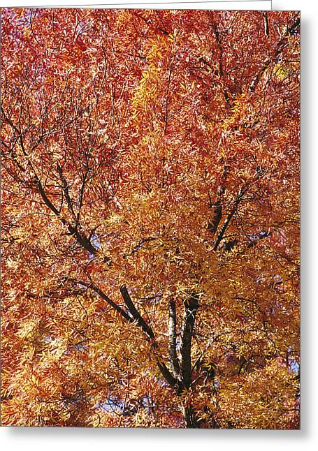 Plant Color Changes Greeting Cards - A Claret Ash Tree In Its Autumn Colors Greeting Card by Jason Edwards