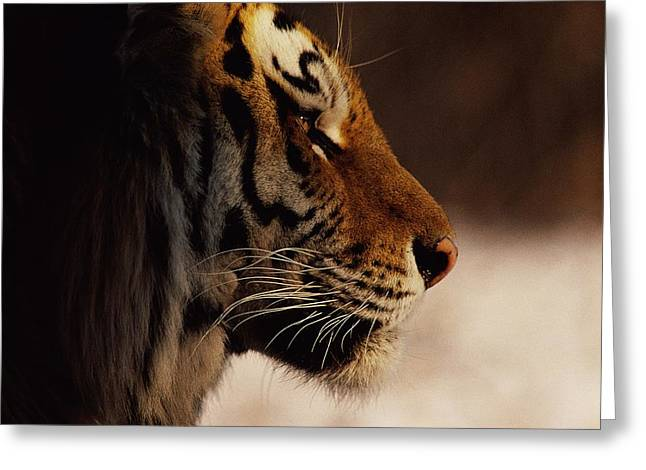 The Tiger Greeting Cards - A Close Profile View Of A Siberian Greeting Card by Marc Moritsch