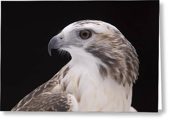 Release Greeting Cards - A Close-up Of A Kriders Red-tailed Greeting Card by Joel Sartore