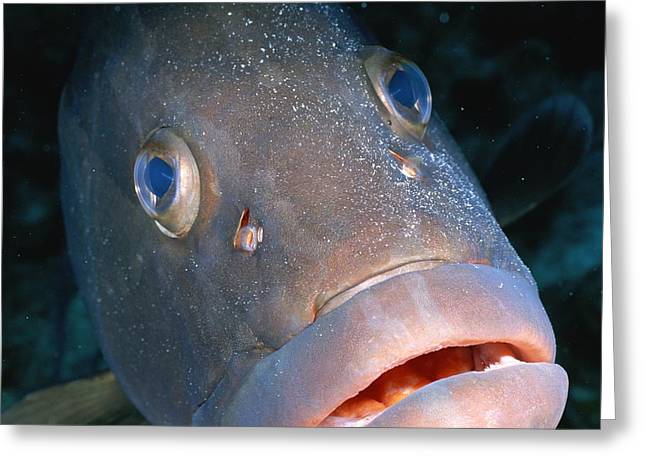 Grand Turk Island Greeting Cards - A Close-up Of A Nassau Grouper Fish Greeting Card by Wolcott Henry