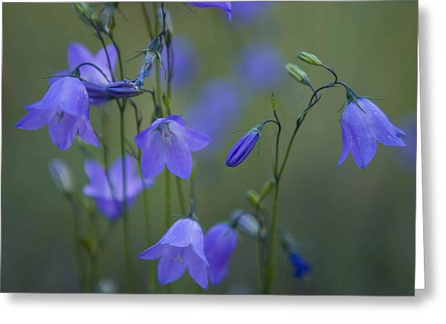 Recently Sold -  - Close Focus Nature Scene Greeting Cards - A Close Up Of Mountain Hairbells Dietes Greeting Card by Ralph Lee Hopkins