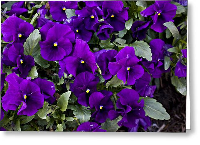 Arlington Greeting Cards - A Close Up Of Purple Pansy Flowers Greeting Card by Hannele Lahti