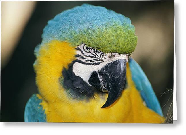 Alligator Farm Greeting Cards - A Close-up Of The Head Of A Macaw Greeting Card by Stephen St. John