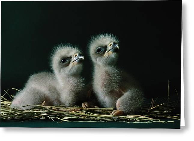 Southwestern Birds Greeting Cards - A Close-up Shows Two Southern American Greeting Card by Joel Sartore