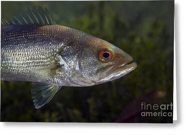 Black Bass Greeting Cards - A Close-up View Of An Adolescent Greeting Card by Michael Wood