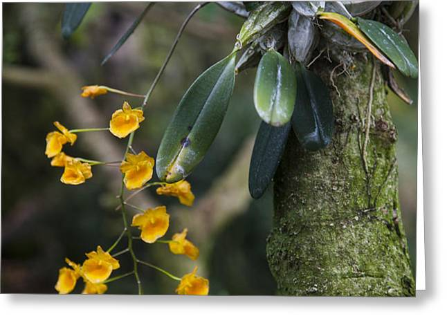 A Close View Of A Beautiful Dendrobium Greeting Card by Taylor S. Kennedy