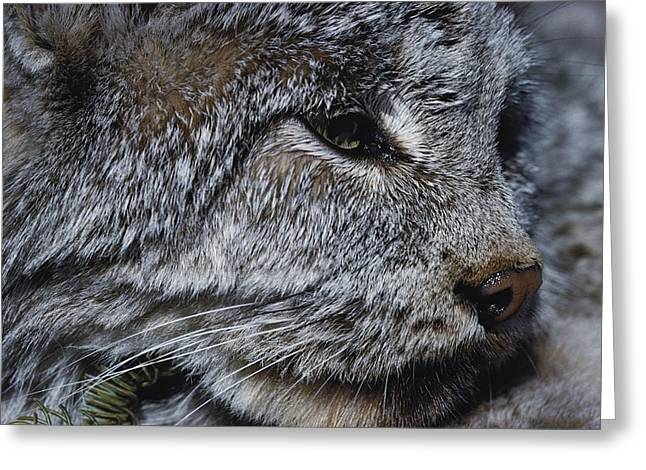 Canadian Lynx Greeting Cards - A Close View Of A Canadian Lynx Lynx Greeting Card by Paul Nicklen