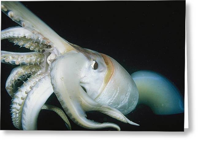 Giant Squid Greeting Cards - A Close View Of A Giant Or Humboldt Greeting Card by Brian J. Skerry