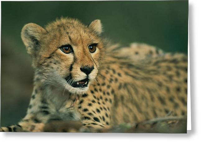 Juvenile Mammals Greeting Cards - A Close View Of A Juvenile African Greeting Card by Chris Johns