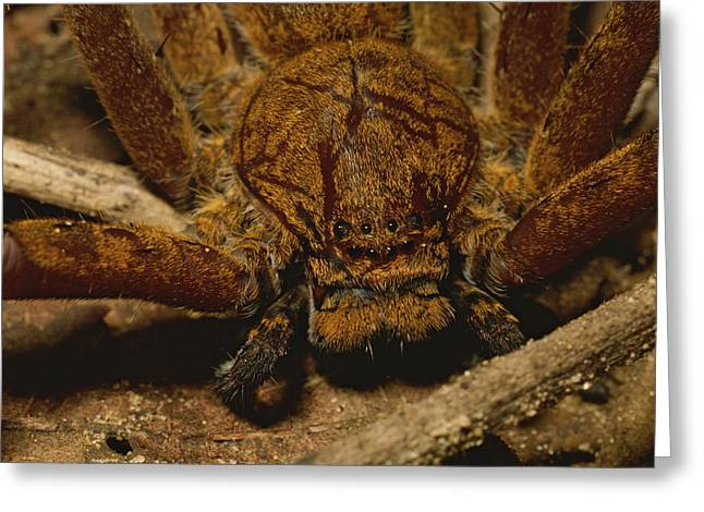 Huntsman Photographs Greeting Cards - A Close View Of A Large Huntsman Greeting Card by Tim Laman