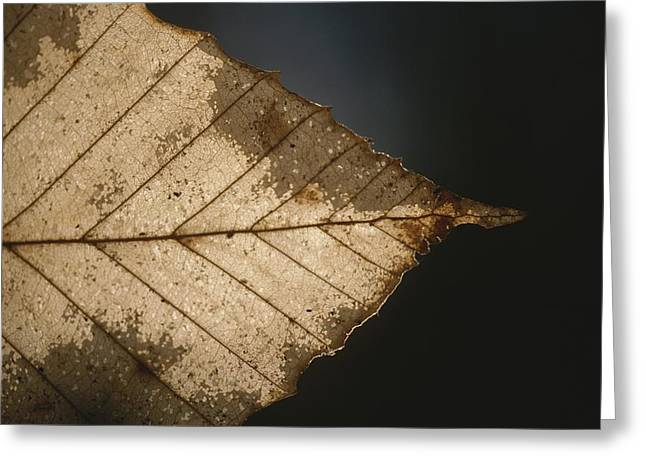 Plant Color Changes Greeting Cards - A Close View Of A Leaf In Autumn Colors Greeting Card by Roy Gumpel