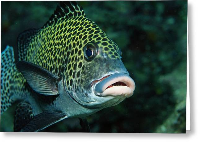 Sipadan Greeting Cards - A Close View Of A Many-spotted Greeting Card by Tim Laman