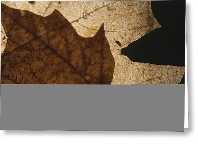 Plant Color Changes Greeting Cards - A Close View Of A Maple Leaf In Fall Greeting Card by Roy Gumpel