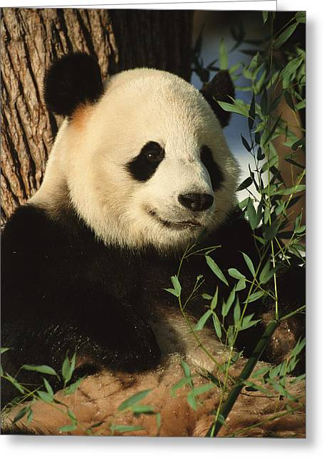 Animal Behavior Greeting Cards - A close view of a panda Greeting Card by Taylor S. Kennedy