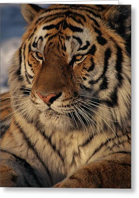 The Tiger Greeting Cards - A Close View Of A Proud Siberian Tiger Greeting Card by Marc Moritsch