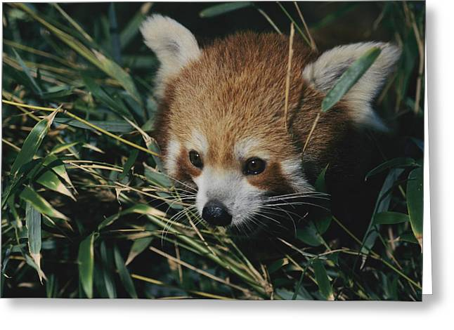 Perth Zoo Greeting Cards - A Close View Of A Red Panda Greeting Card by Nick Caloyianis
