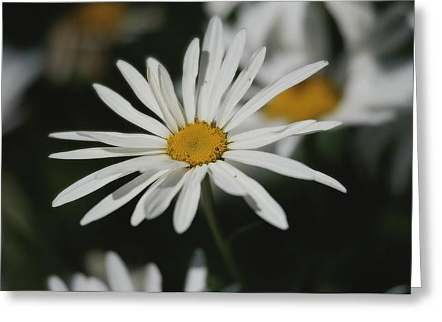 Patterns In Nature Greeting Cards - A Close View Of A Spreading Fleabane Greeting Card by Raymond Gehman