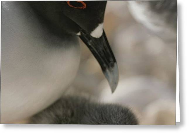 A Close View Of A Swallow Tailed Gull Greeting Card by Michael Melford