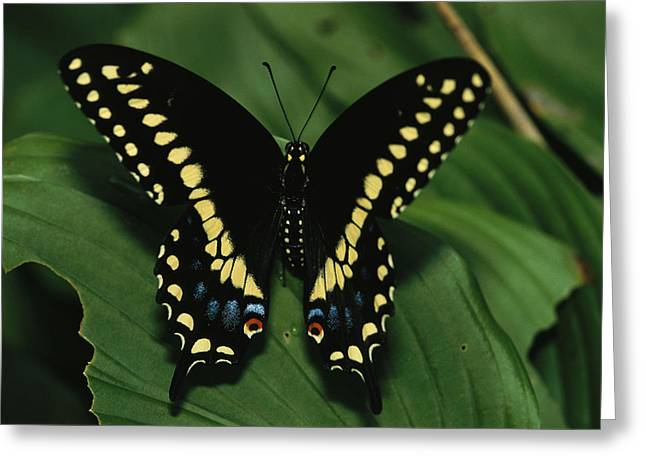 Marcelli Greeting Cards - A Close View Of A Tiger Swallowtail Greeting Card by Medford Taylor