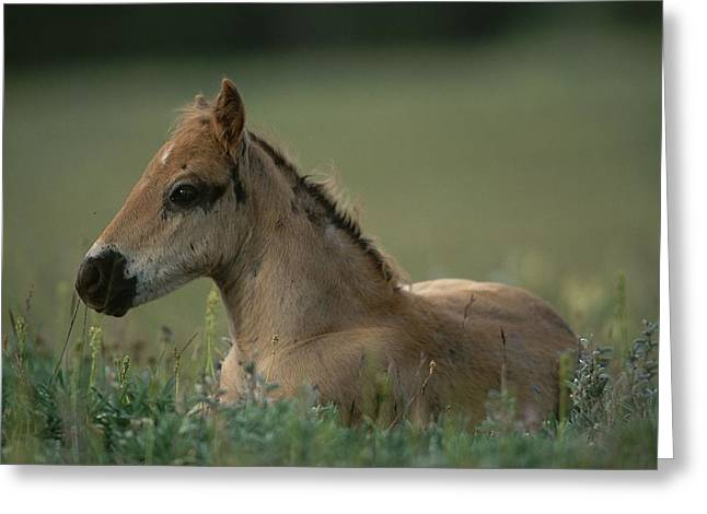 Roost Photographs Greeting Cards - A Close View Of A Wild Colt Lying Greeting Card by Chris Johns