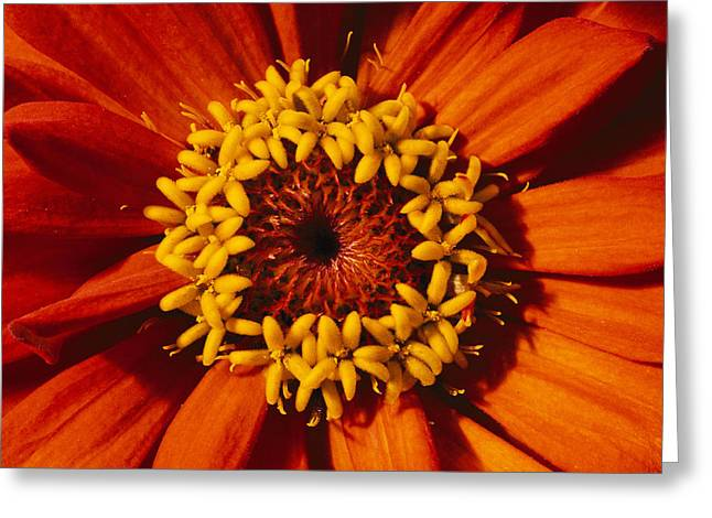 Gilroy Greeting Cards - A Close View Of A Zinnia Hybrid Greeting Card by Jonathan Blair