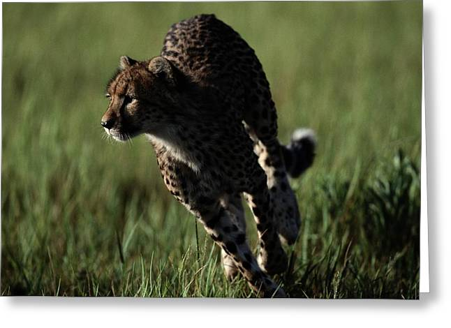 Cheetah Running Greeting Cards - A Close View Of An African Cheetah Greeting Card by Chris Johns