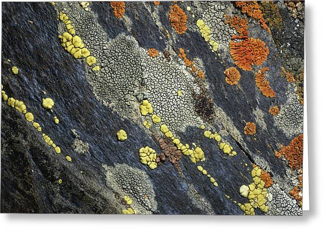 Lichen Image Greeting Cards - A Close View Of Crustose Lichens Greeting Card by Sylvia Sharnoff