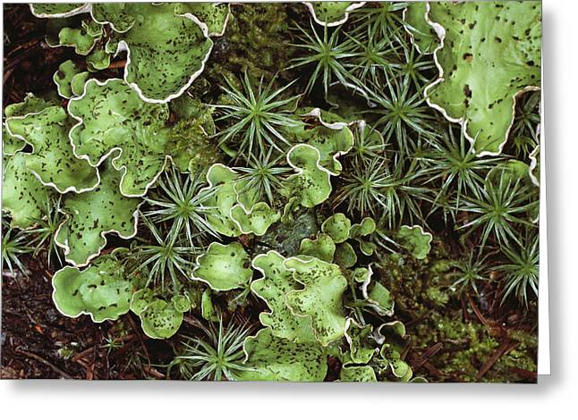 Lichen Image Greeting Cards - A Close View Of Freckle-pelt Lichens Greeting Card by Stephen Sharnoff