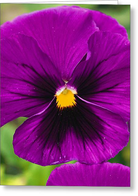 Gilroy Greeting Cards - A Close View Of Purple Picotee Pansies Greeting Card by Jonathan Blair