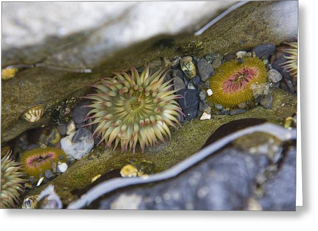 Port Renfrew Greeting Cards - A Close View Of Sea Anemones On A Beach Greeting Card by Taylor S. Kennedy