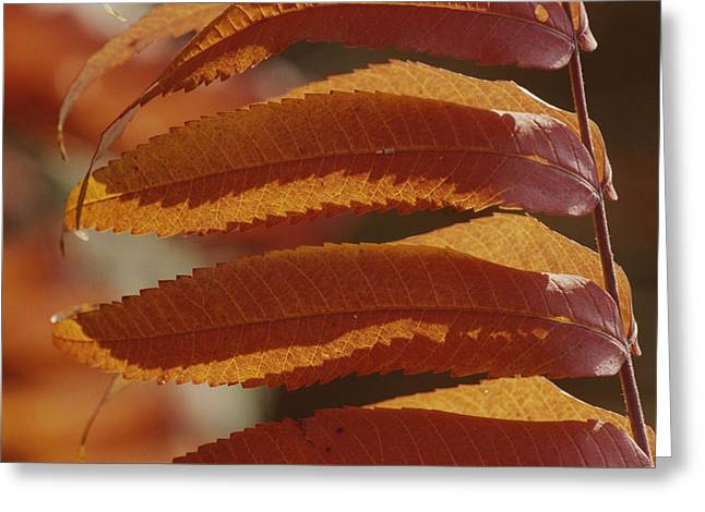 Plant Color Changes Greeting Cards - A Close View Of Sumac Leaves, Rhus Greeting Card by Bates Littlehales