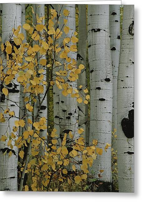 Crested Butte Greeting Cards - A Close View Of The Autumn Foliage Greeting Card by Marc Moritsch