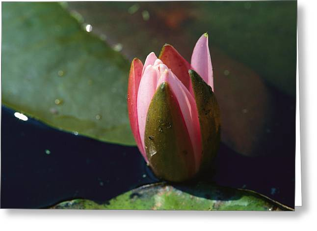 Nymphaea Plants Greeting Cards - A Close View Of The Bud Of A Pink Greeting Card by Medford Taylor