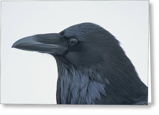 Light And Dark Greeting Cards - A Close View Of The Head Of A Raven Greeting Card by Tom Murphy