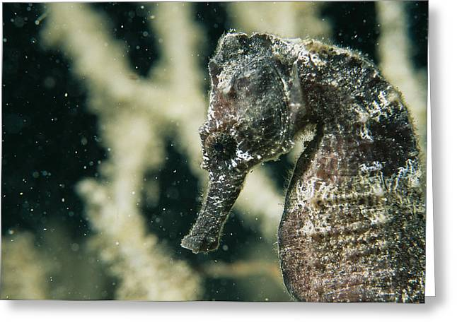 Sea Horse Greeting Cards - A Close View Of The Head Of A Sea Horse Greeting Card by Tim Laman