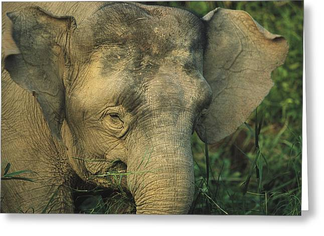 Borneo Island Greeting Cards - A Close View Of The Head Of An Asian Greeting Card by Tim Laman
