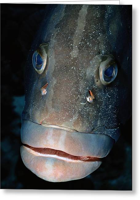 Nassau Grouper Greeting Cards - A Close-view Photograph Of A Nassau Greeting Card by Wolcott Henry