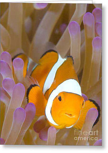 Pomacentridae Greeting Cards - A Clown Anemonefish In A Purple Greeting Card by Steve Jones
