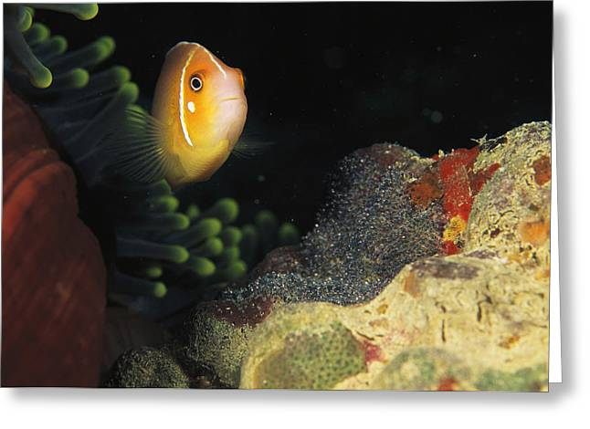 Micronesia Greeting Cards - A Clownfish Guards Its Nest Of Eggs Greeting Card by Heather Perry