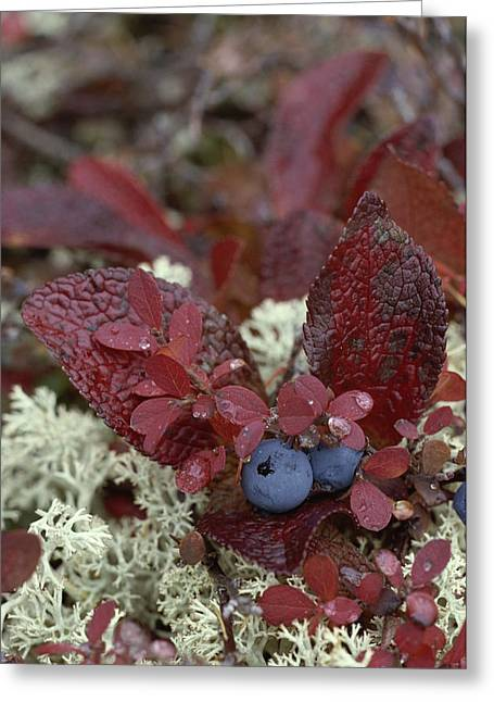 Plant Color Changes Greeting Cards - A Cluster Of Blueberries Among Lichens Greeting Card by Norbert Rosing
