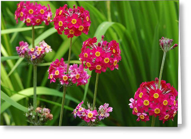A Cluster Of Candelabra Primula Flower Greeting Card by Darlyne A. Murawski